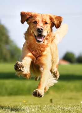 Brown dog running through a field